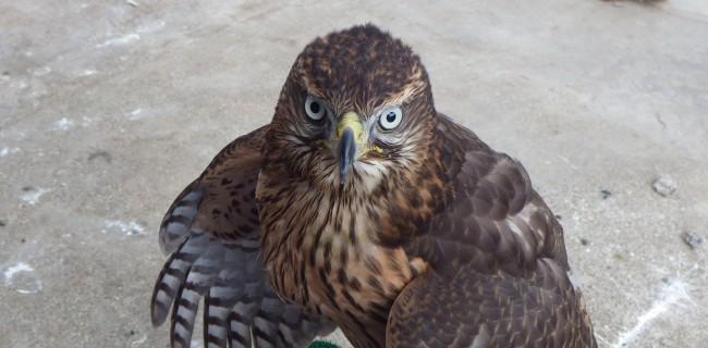 猛禽類(モウキン類) | ペットショップモンクール-群馬県高崎市   猛禽類の画像