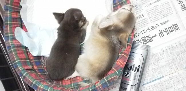 2012/08/04産まれのチョコタン姉妹です☆