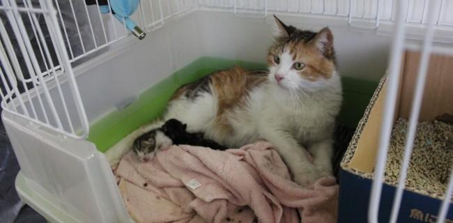 マンチカンのサクラちゃんが、赤ちゃんを産みました(●^o^●)
