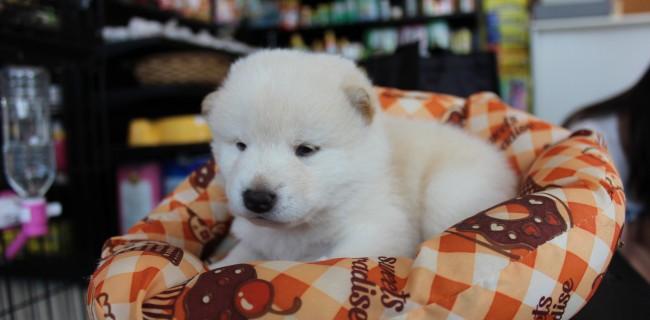 柴犬の男の子、新しい御家族が決まりました(*^。^*)