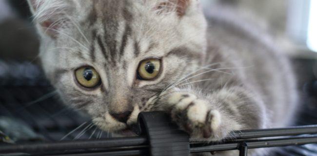 【好奇心旺盛!】ソマリの子猫💖
