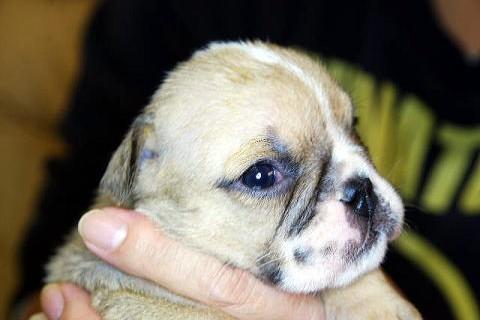 BULLPLAN 田畑ブリーダーの犬舎でJKCチャンピオンのブルドックの子供が生まれました。