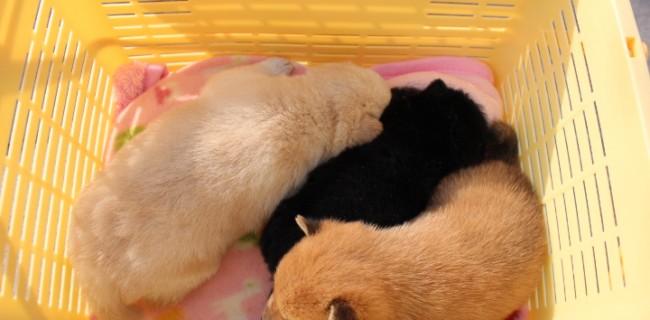 BULLPLAN 田畑ブリーダーの犬舎で豆柴の仔犬が生まれました。