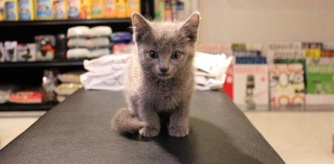 ロシアンブルー雄の子猫ちゃんがやってきました。