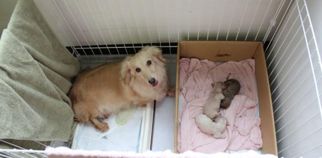 6月3日に、ミニチュアダックスの赤ちゃんが産まれましたぁ(*^_^*)