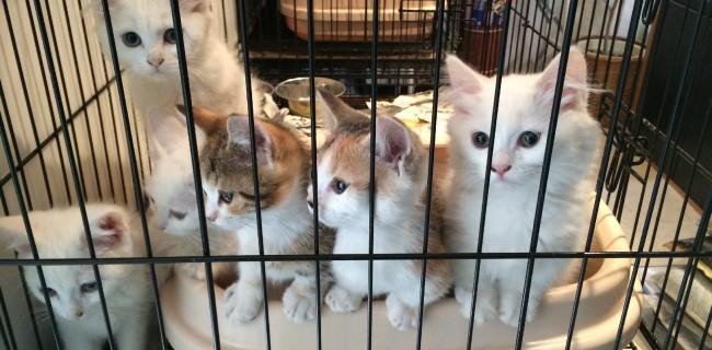 可愛いマンチカンの子猫ちゃんたちがやって来ましたぁ(*^_^*)