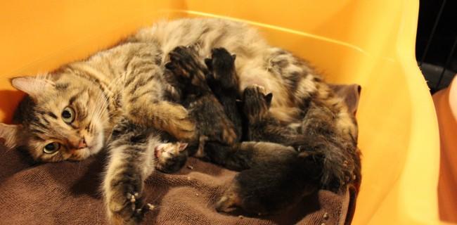 アメリカンカールの赤ちゃんが産まれましたぁ(*^▽^*)